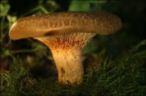 pilze garten pilz im garten kahler krempling foto bild pflanzen