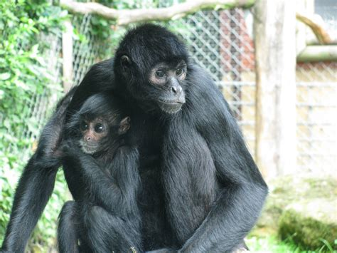 black monkey black spider monkey 187 banham zoo gallery