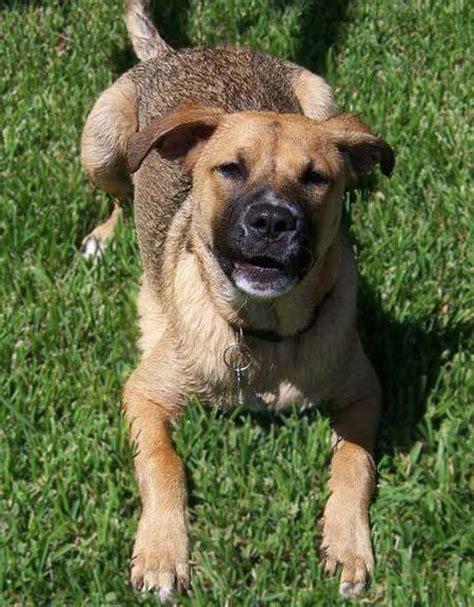 pitbull shepherd mix puppy boxer australian shepherd mix breeds picture