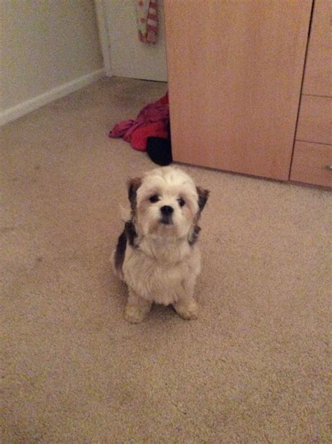 shih tzu wanted wanted shih tzu puppy chipping norton oxfordshire pets4homes