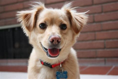 golden retriever chihuahua mix puppies 13 gorgeous golden retriever mixes you just to see