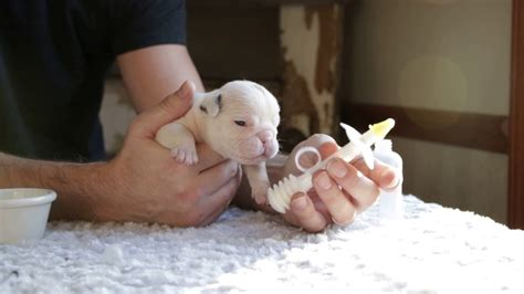 how to feed a newborn puppy newborn bulldog www pixshark images galleries with a bite