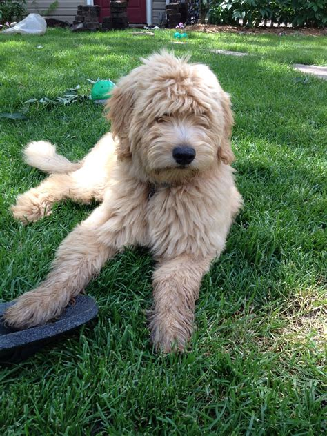 mini goldendoodles for sale in wisconsin miniature goldendoodles for sale in wisconsin