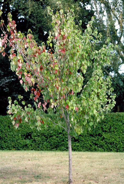 maple tree decline tree decline pacific northwest pest management handbooks