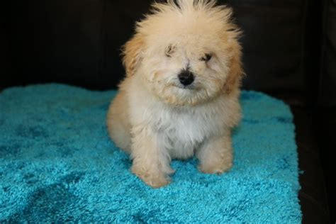 goldendoodle puppies for sale los angeles 25 b 228 sta medium goldendoodle id 233 erna p 229 goldendoodle goldendoodle