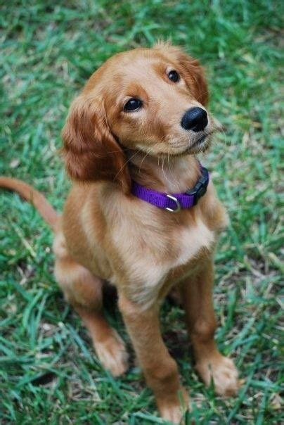 golden retriever setter puppies golden retriever puppies puppy pictures