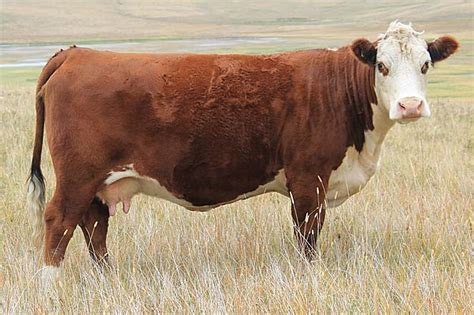 hereford cattle hereford cattle cow pics animals and birds
