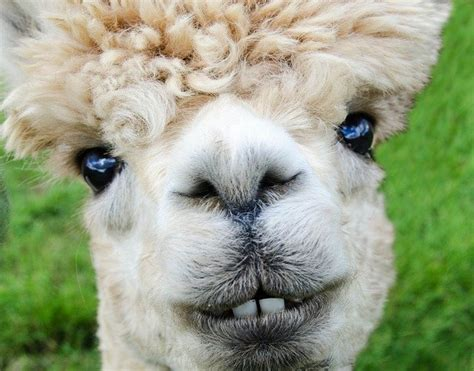 photo alpaca smile teeth fur funny  image  pixabay