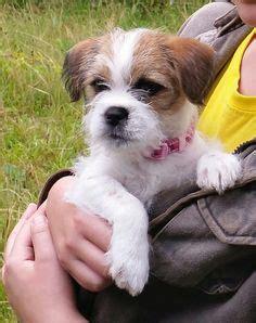 border terrier cross shih tzu chattanooga tn shih tzu terrier mix meet a for adoption