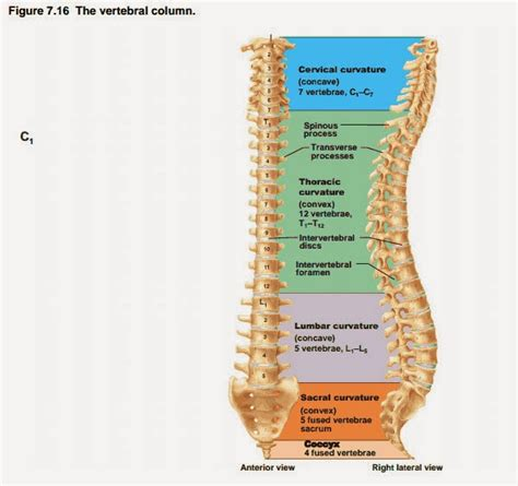 vertebral column sections mama galvan anatomy mnemonic to remember the vertebral column