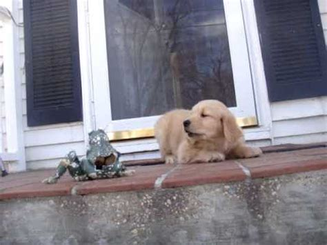 angry golden retriever golden retriever puppy angry with frog