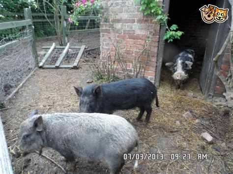 micro pigs for sale uk micro pigs alford lincolnshire pets4homes
