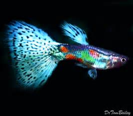 guppies colors 1000 images about guppies on auction live