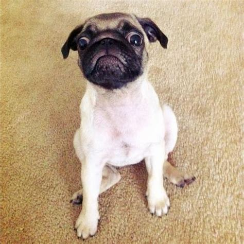 pug jesus 6616 best images about we pugs on