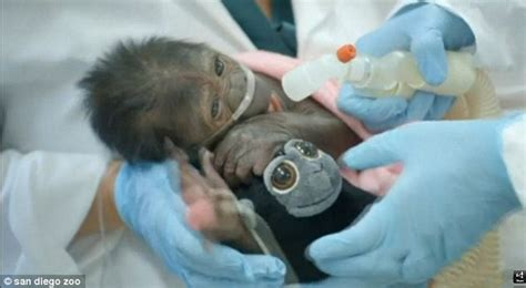 animal c section baby gorilla born by c section in san diego zoo with
