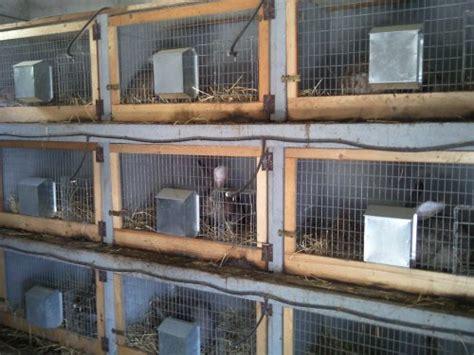 gabbie conigli giganti allevamento conigli giganti domenico montesano