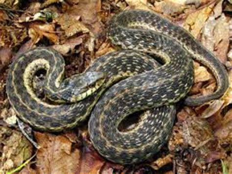 Garden Snake Diet Garden Snake What Do They Eat 28 Images 87514033 Jpg W