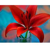 Red Lily Flower Wallpaper For Desktop Hd 3840x2400