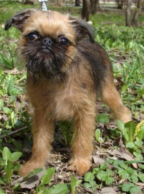 chihuahua puppies for sale in tn chihuahua puppies chihuahua puppy for sale in morristown tn breeds picture