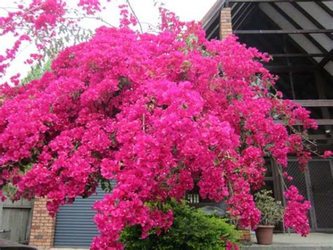 Evergreen Climbing Plants For Trellis Plant Finder Search Results Page 1 Search Criteria