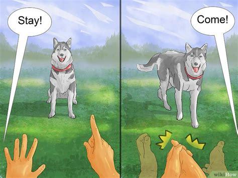 8 Care Tips For A Husky by ترويض كلب هاسكي سيبيري Wikihow