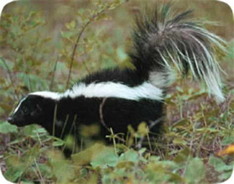 Getting Rid Of Skunks Shed by Chicago Skunk Pest Removal