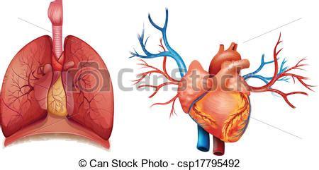 imagenes de corazones organo eps vectores de coraz 243 n 243 rgano ilustraci 243 n de el