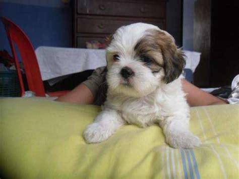 cachorros shih tzu miniatura cachorros en miniatura imagui