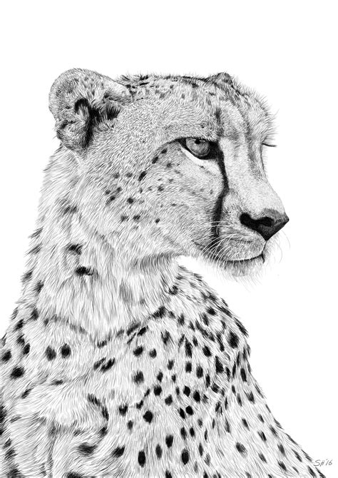 sketchbook cheetah cheetah sketch stuart hogton