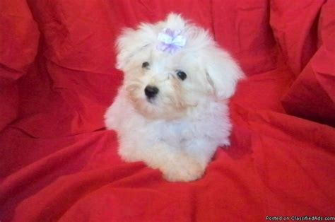 maltese puppy price maltese puppies price 400 for sale in silver creek colorado best pets