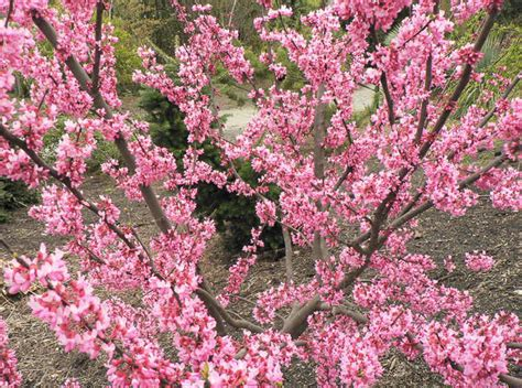 cercis canadensis tennessee pink eastern redbud