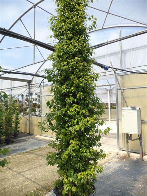 falso gelsomino in vaso falso gelsomino trachelospermum jasminoides vivai imperatore