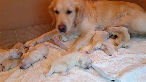 golden retriever newborn puppies golden retriever newborn puppies