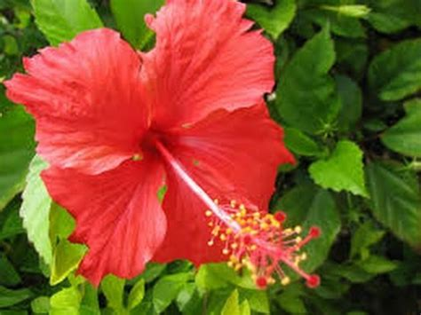 manfaat bunga kembang sepatu  pengobatan tradisional