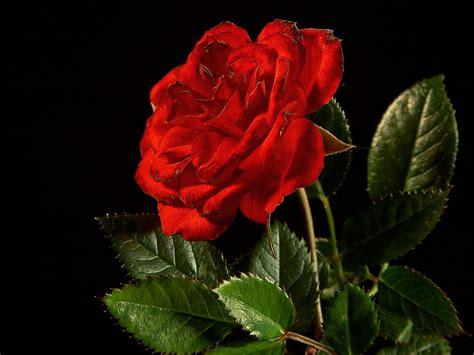 gambar wallpaper bunga rose gambar bunga mawar ukuran besar davea site