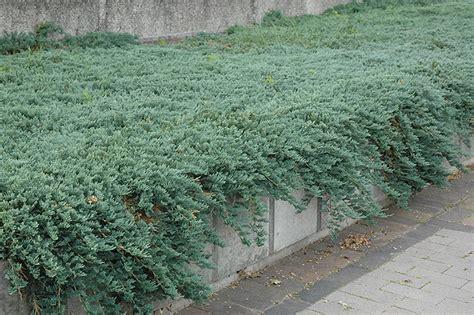 Icee Blue Juniper (Juniperus horizontalis 'Icee Blue') in