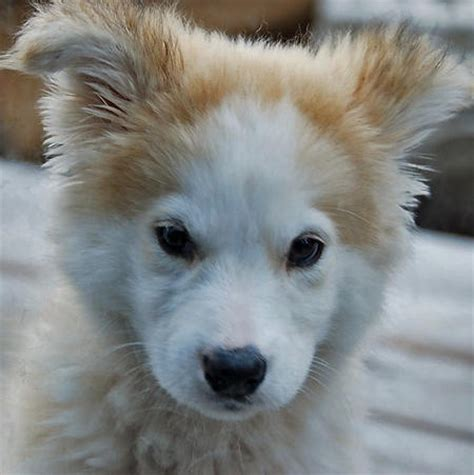 part husky part golden retriever golden retriever husky mix