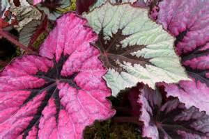 Garden Foliage Plants - begonia rex houseplant plant amp flower stock photography gardenphotos com