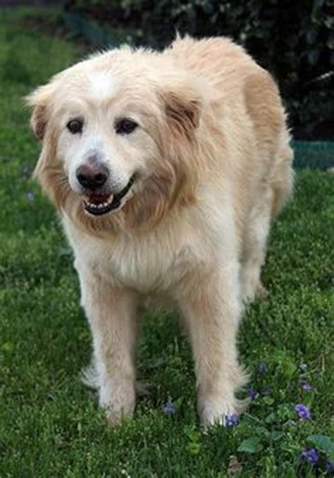 great pyrenees and golden retriever mix aww on white husky great pyrenees and husky