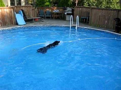 rottweiler exercise build swimming exercise for rottweiler funnydog tv