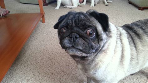 ugliest pug pug wants walkies