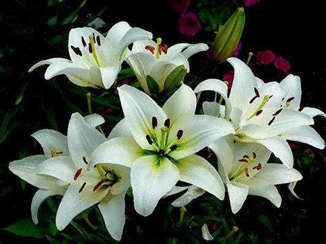 imagenes flores lirios 8 plantas de ornato para interiores y exteriores de tu casa