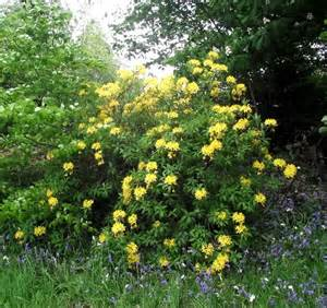 yellow rhododendron 169 seo mise cc by sa 2 0 geograph britain and ireland