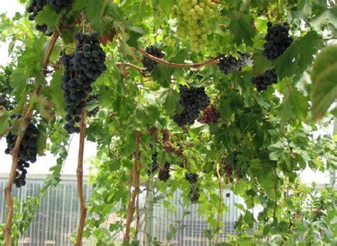 Benih Paprika Di Surabaya cara menanam anggur dari biji dalam pot yang benar