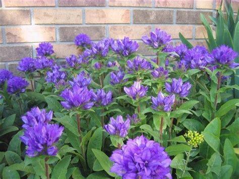Purple perennial flower identification names mightylinksfo