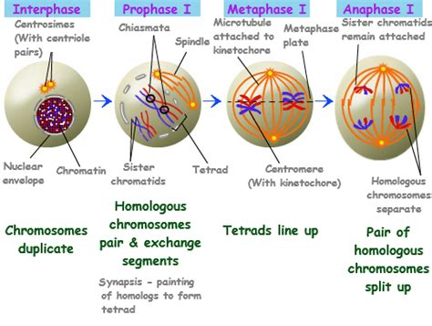 Meiosis |What is Meiosis | Differences Between Mitosis and ... Meiosis Stages
