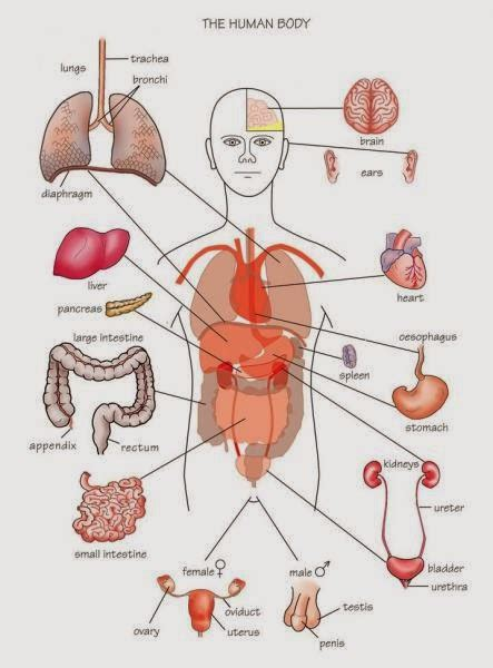 human organs diagram human anatomy and physiology diagrams human parts