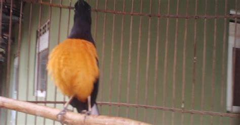 Pakan Udang Merk Gold Coin burung murai ciri khas burung murai batu kalimantan