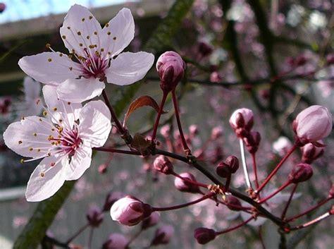 potatura fiori periodo potatura ciliegio potatura quando potare il