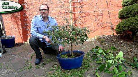 bougainvillea schneiden gartentipp april 0405 k 252 belpflanzen bougainvillea im
